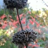 "Dried-out Leonotus leonurus, or ""Lion's Tail""."