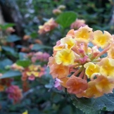 A yellow-to-pink lantana, at the spiral pedestrian overpass on Romain/Market.