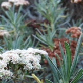 California buckwheat, with flowers in various stages.