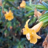 Sticky Monkey Flower - Mimulus, at Seward Park.