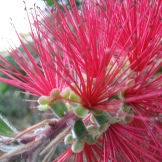 Weeping bottlebrush (Callistemon viminalis) at Kite HIll.