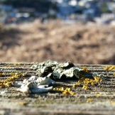 Tiny lichens on Kite Hill's split-rail fence.