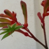 Kangaroo paw, reaching down for your gaze on Grand View.