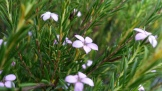 Tiny pink flowers of Coleonema.