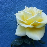 I'm not at all a fan of roses, but I AM a fan of color. And we all know how I love blue as a garden background!