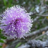 Another challenging photo in the wind was this Melaleuca that is blooming on Yukon.