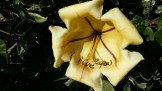 Somebody left a fleeting message in Sharpie inside an ephemeral flower on the cup-of-gold vine at Flora Grubb Gardens.