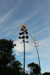 The setting sun's rays catching the tips of the towering inflorescences on these blooming Agave americana at City College.