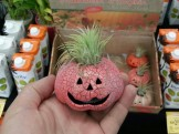 Air plants have found their way to Walgreen's as a disposable Halloween kitsch item.