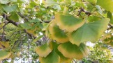 Ginkgo biloba's foliage turning for fall...