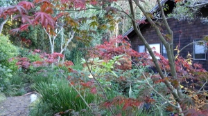 The colors of the maples, looking down from a higher terrace a couple of weeks ago.