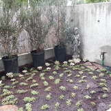 Leptinella groundcover will fill in over time and create a walkable surface.