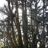 Nice old Monterey cypress alongside the cross' platform.