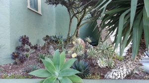 Agave attenuata in the front was intended to be framed by three large A. attenuata 'Nova' against the far back...