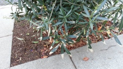 INtolerance: Oleander getting burned.