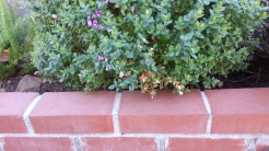 INtolerance: Polygala would probably do fine if washed occasionally during watering.