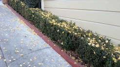 Tolerance: Evil evil boxwoods.
