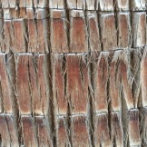 Closeup of the bark on a neighbor's massive fan palm (Washingtonia robusta).