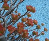 Winter-stressed jade plant against a blue backdrop.