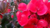 Some vivid geranium action up at Ma's house in Guerneville.