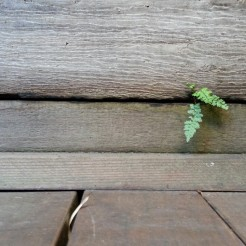 Cute little fern sprout in a retaining wall at my client's garden. :)