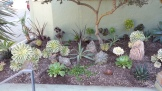 Some rearranging gives a little more prominence to a beschorneria (center), and the cordylines fill in behind.