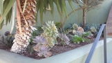 Echeveria 'Afterglow' moved to the front corner will help highlight the pinks of the aeoniums and the euphorbias.