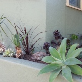 The front edge with the added lushness of a cordyline against the wall behind the yuccas, fronted by Sunburst aeoniums.