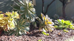 Aeonium 'Sunburst' and Euphorbia 'Ascot Rainbow' carry a repetition of color.