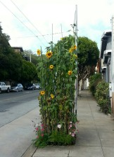 Sunflowers on Clayton St. In January.