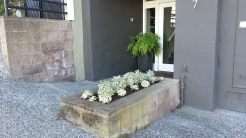 After: Aeonium decorum 'Sunburst' in the streetside planter.