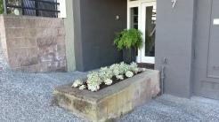 After: Aeonium decorum 'Sunburst' in the streetside planter.