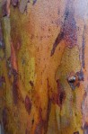 Rain-soaked bark on a Corymbia ficifolia tree.