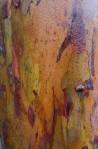Rain-soaked bark on a Corymbia ficifolia tree.